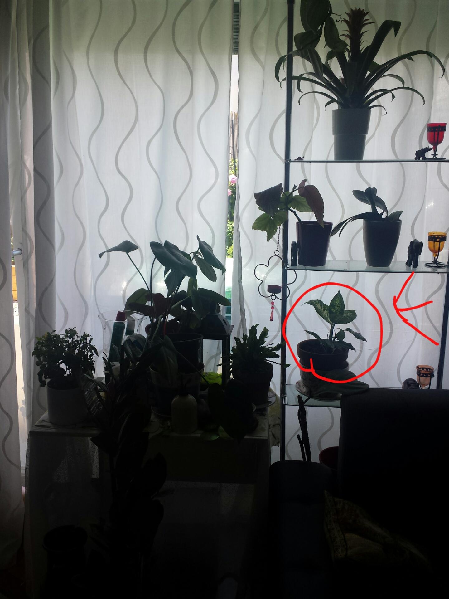 dieffenbachia von spinnenmilben heimgesucht pflanzenkrankheiten sch dlinge green24 hilfe. Black Bedroom Furniture Sets. Home Design Ideas