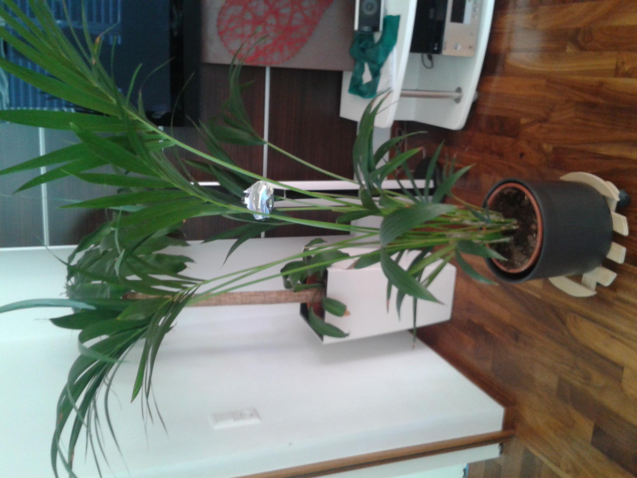 was f r palmen habe ich yucca dracaena kentia pflanzenbestimmung pflanzensuche. Black Bedroom Furniture Sets. Home Design Ideas