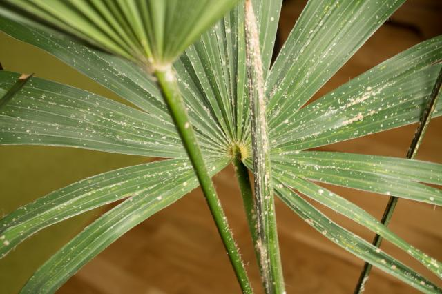 trachycarpus fortunei pilzbefall schildl use. Black Bedroom Furniture Sets. Home Design Ideas