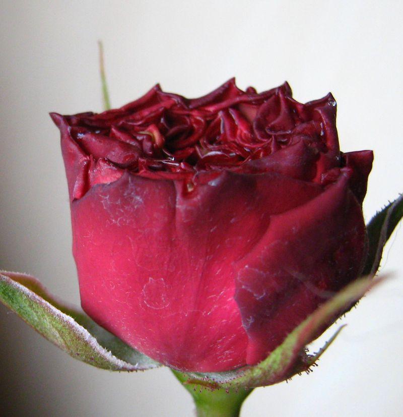 rosenstamm augusta luise