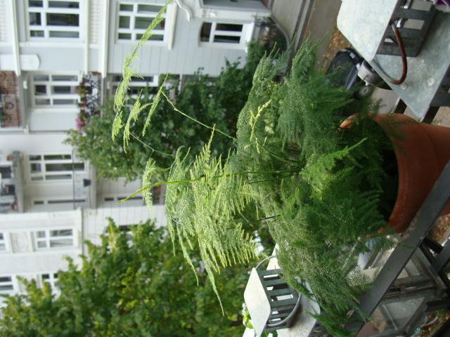 was ist das asparagus setaceus pflanzenbestimmung pflanzensuche green24 hilfe pflege bilder. Black Bedroom Furniture Sets. Home Design Ideas