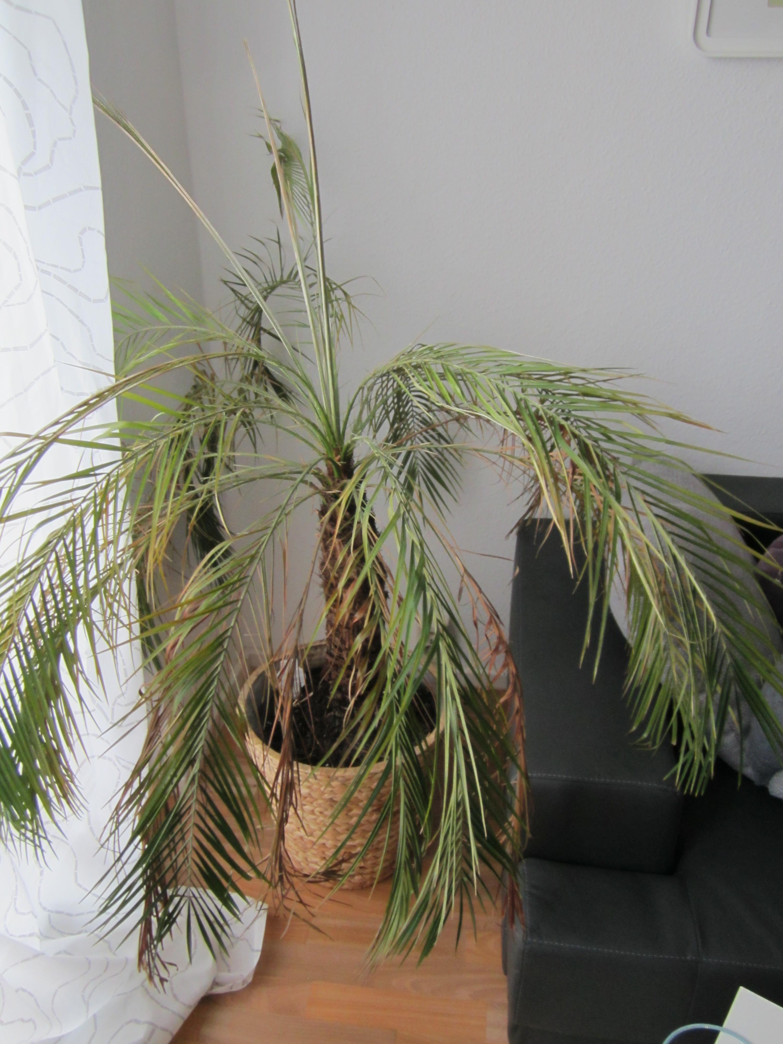 phoenix palme nach umtopfen braune bl tter hilfe pflegen schneiden veredeln green24. Black Bedroom Furniture Sets. Home Design Ideas