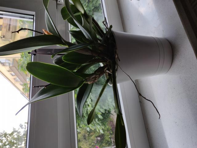 orchideen alles ohne ludisia freiland vii beliebte pflanzen erfahrungen green24. Black Bedroom Furniture Sets. Home Design Ideas