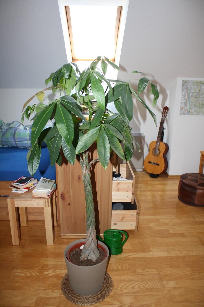 pachira bl tter werden gelb und braun pflanzenkrankheiten sch dlinge green24 hilfe. Black Bedroom Furniture Sets. Home Design Ideas
