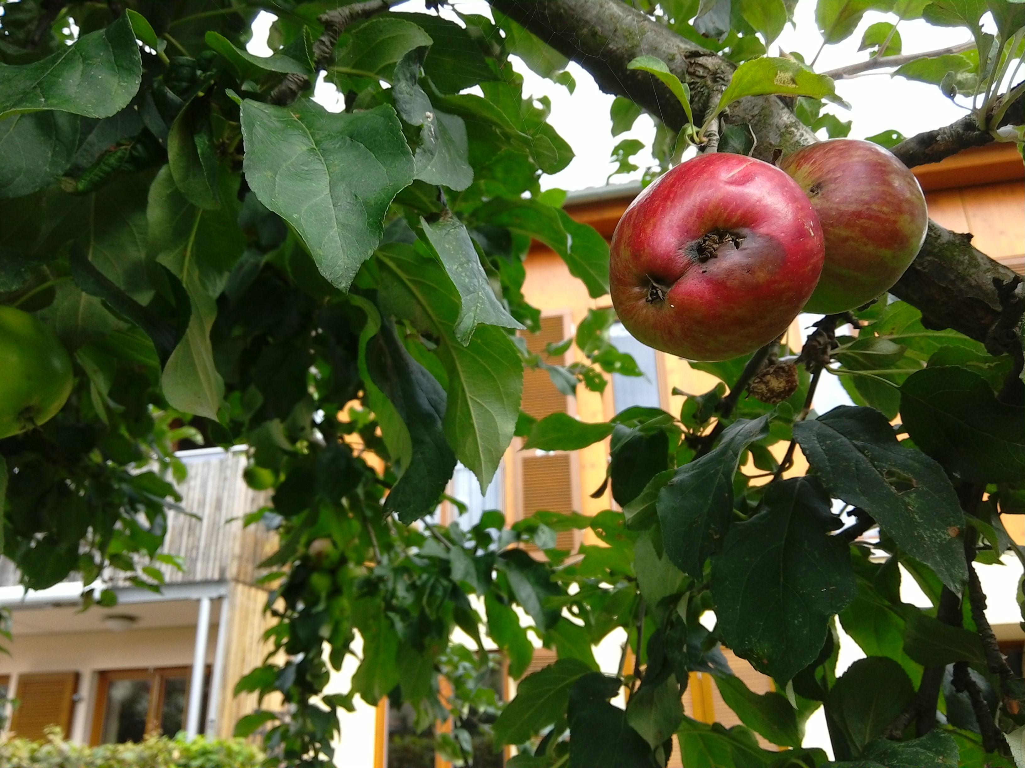 aepfel fallen vorzeitig vom baum befall von apfelwickler pflanzenkrankheiten sch dlinge. Black Bedroom Furniture Sets. Home Design Ideas