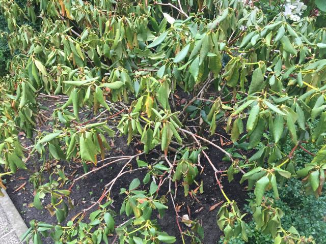 Berühmt Mein Rhododendron noch zu retten? - Pflanzenkrankheiten HR64