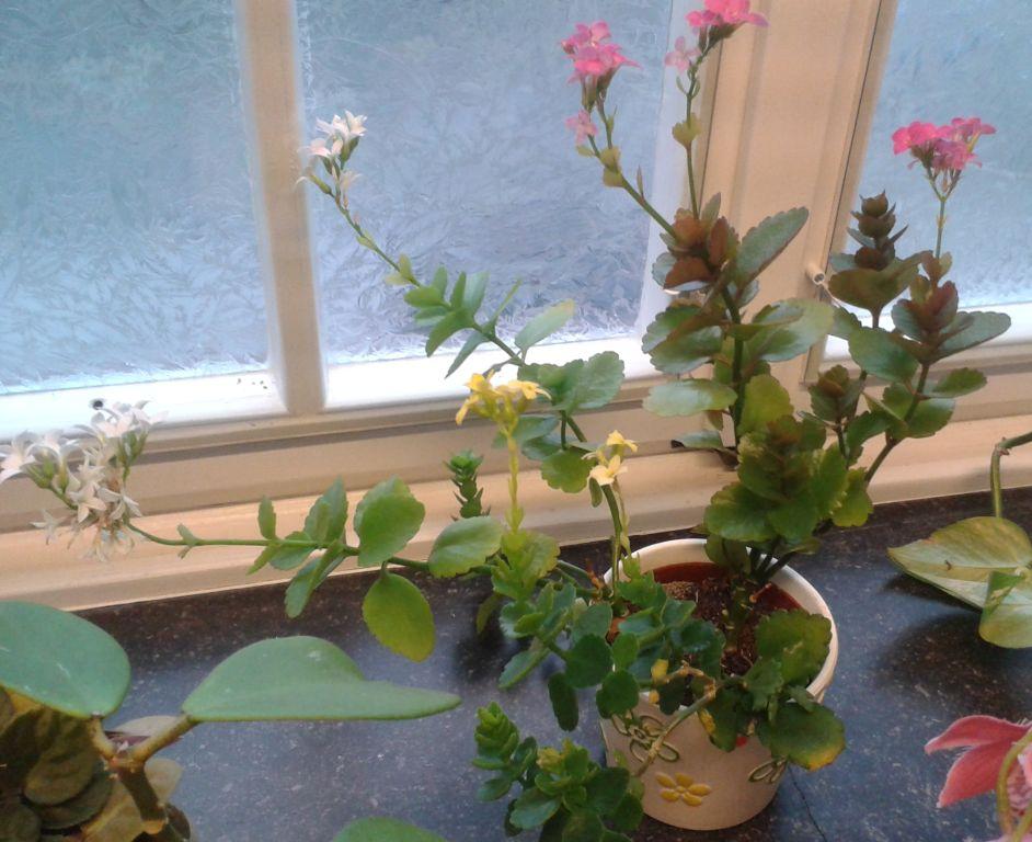 sedum crassula kalanchoe echeveria portulaca ii beliebte pflanzen erfahrungen. Black Bedroom Furniture Sets. Home Design Ideas