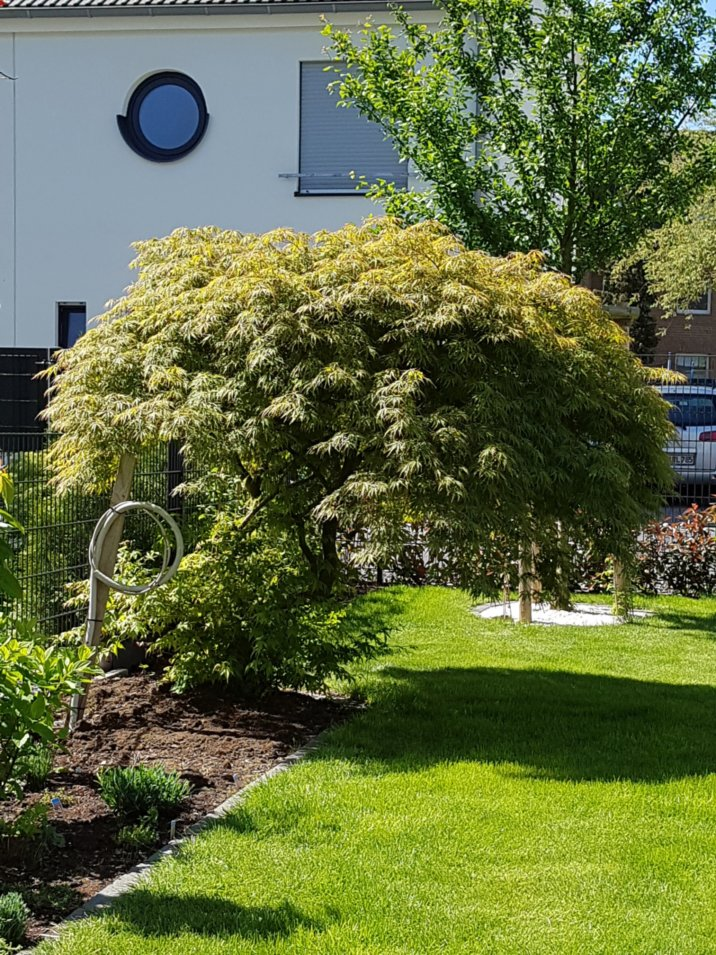 ahorn triebe unterlage schneiden pflanzenkrankheiten sch dlinge green24 hilfe pflege bilder. Black Bedroom Furniture Sets. Home Design Ideas