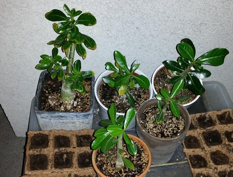 w stenrose adenium vi beliebte pflanzen erfahrungen green24 hilfe pflege bilder. Black Bedroom Furniture Sets. Home Design Ideas