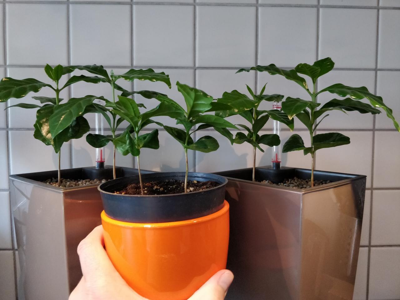 Pflanzen Mit Kaffee Gießen