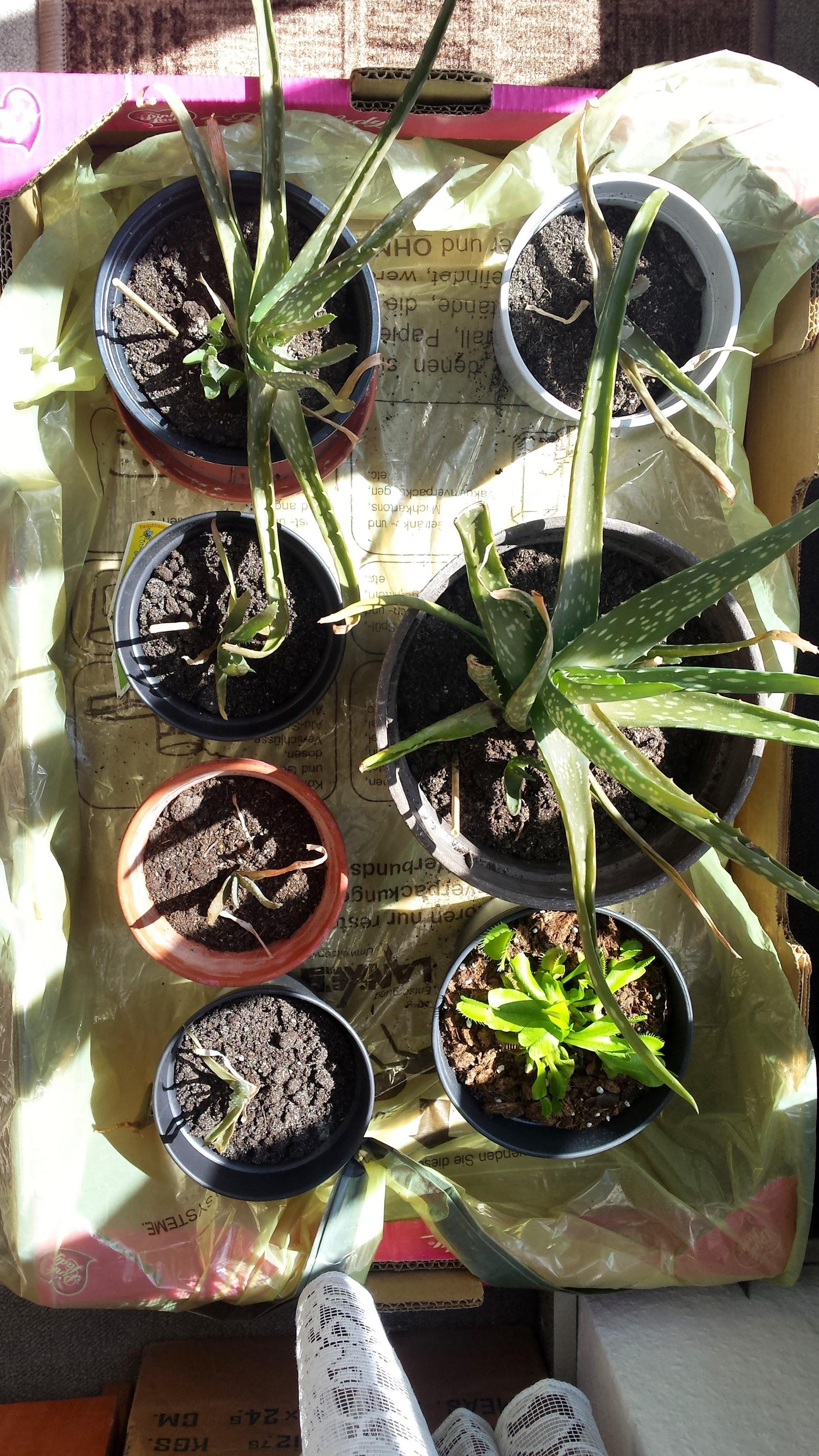 hilfe aloe vera bl tter rollen ein bl tter sterben ab pflanzenkrankheiten sch dlinge. Black Bedroom Furniture Sets. Home Design Ideas