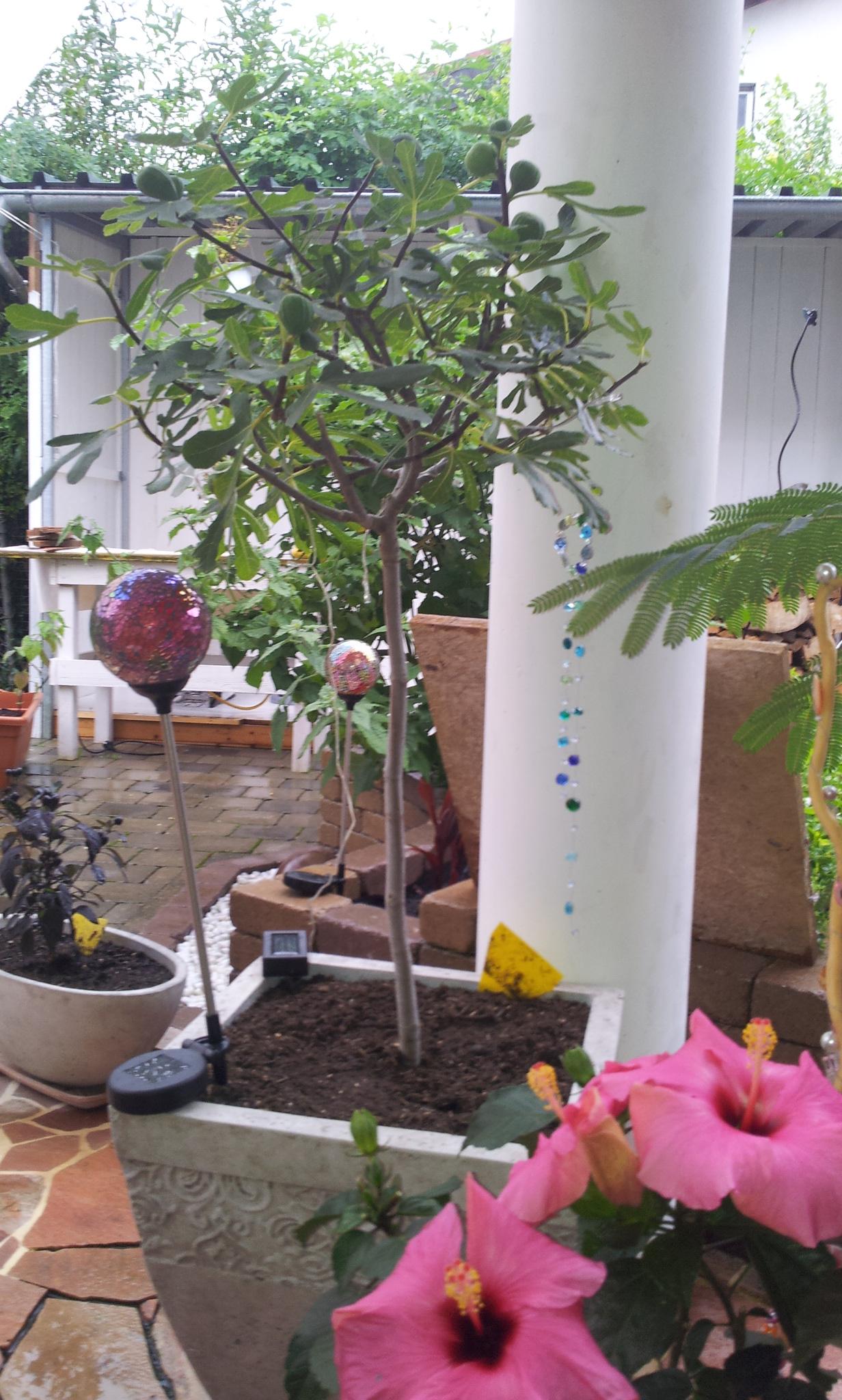 kennt jemand diese feigensorte essbare feigen ficus carica pflanzenbestimmung. Black Bedroom Furniture Sets. Home Design Ideas