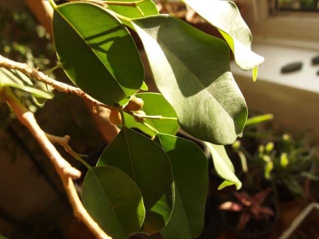brauche hilfe beim aufp ppeln einer zimmerpflanze ficus pflegen schneiden veredeln. Black Bedroom Furniture Sets. Home Design Ideas