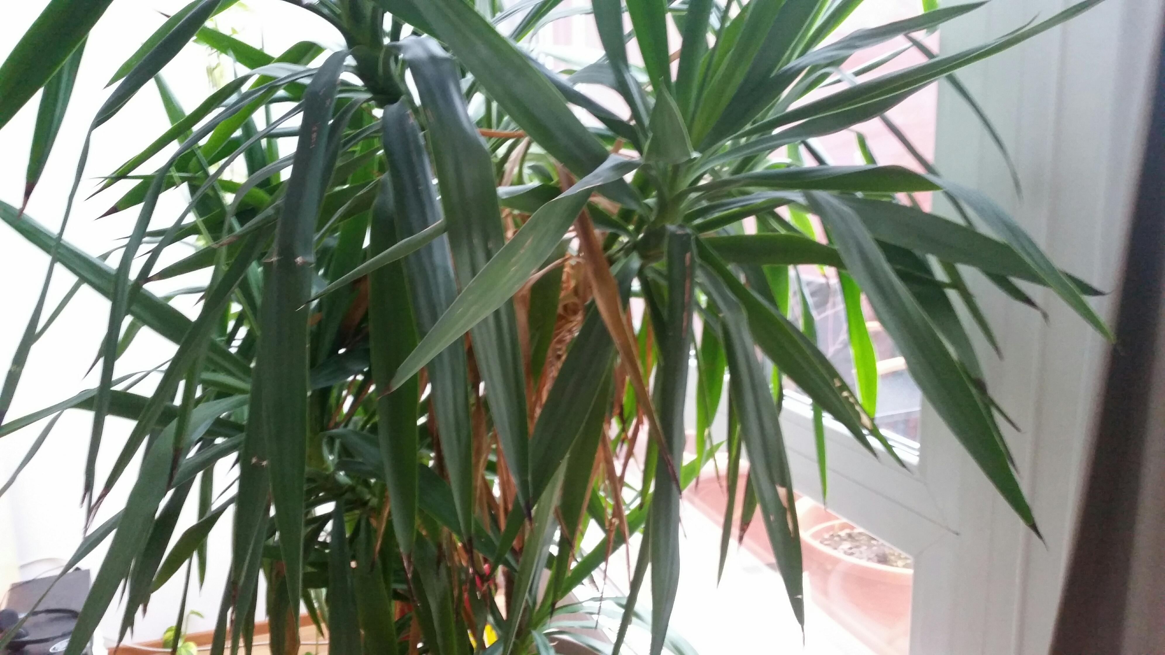 yucca palme pflanzenkrankheiten sch dlinge green24. Black Bedroom Furniture Sets. Home Design Ideas