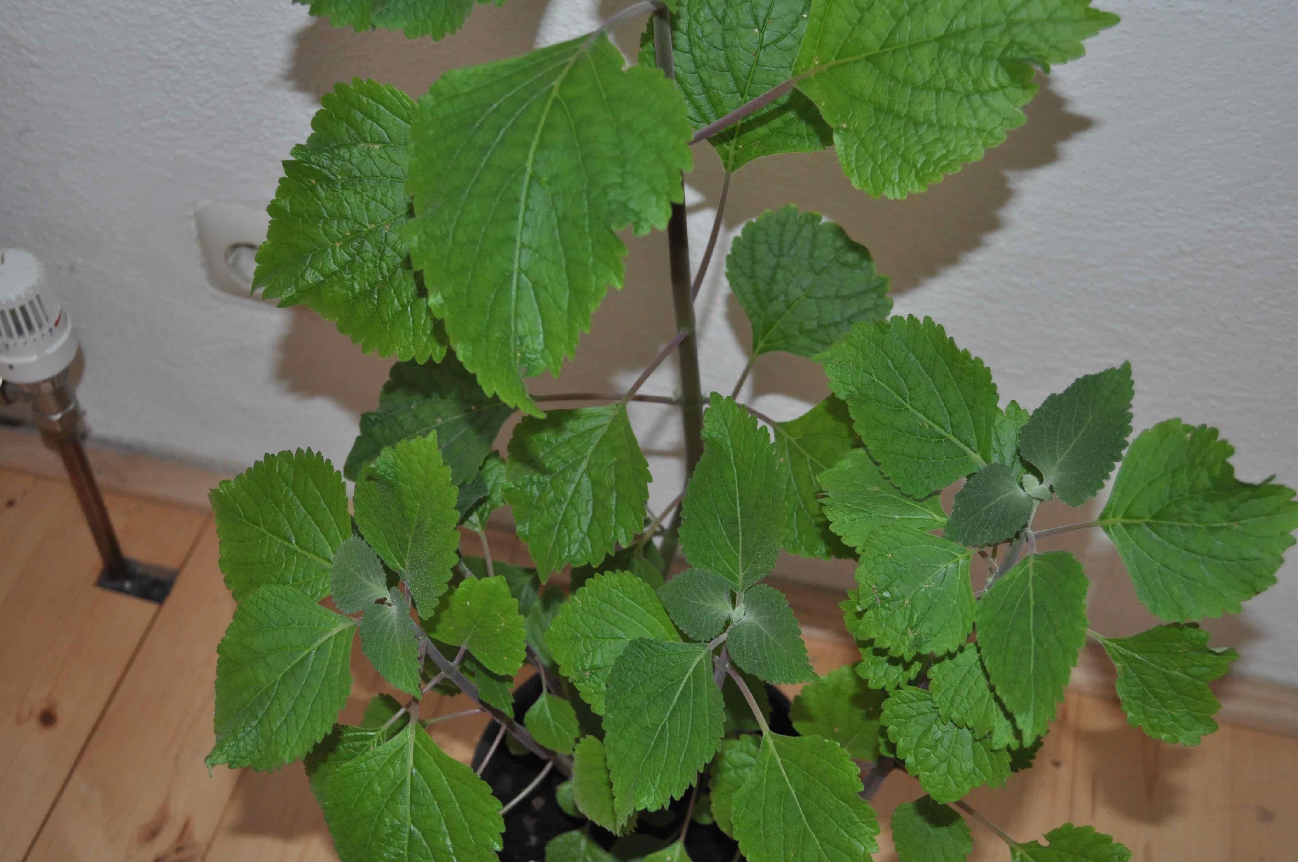 Bestimmung dieser linde plectranthus fruticosus pflanzenbestimmung pflanzensuche - Zimmerlinde bilder ...
