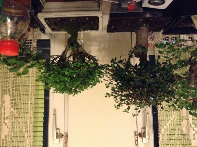 bonsai pflanzenbestimmung pflanzensuche green24. Black Bedroom Furniture Sets. Home Design Ideas