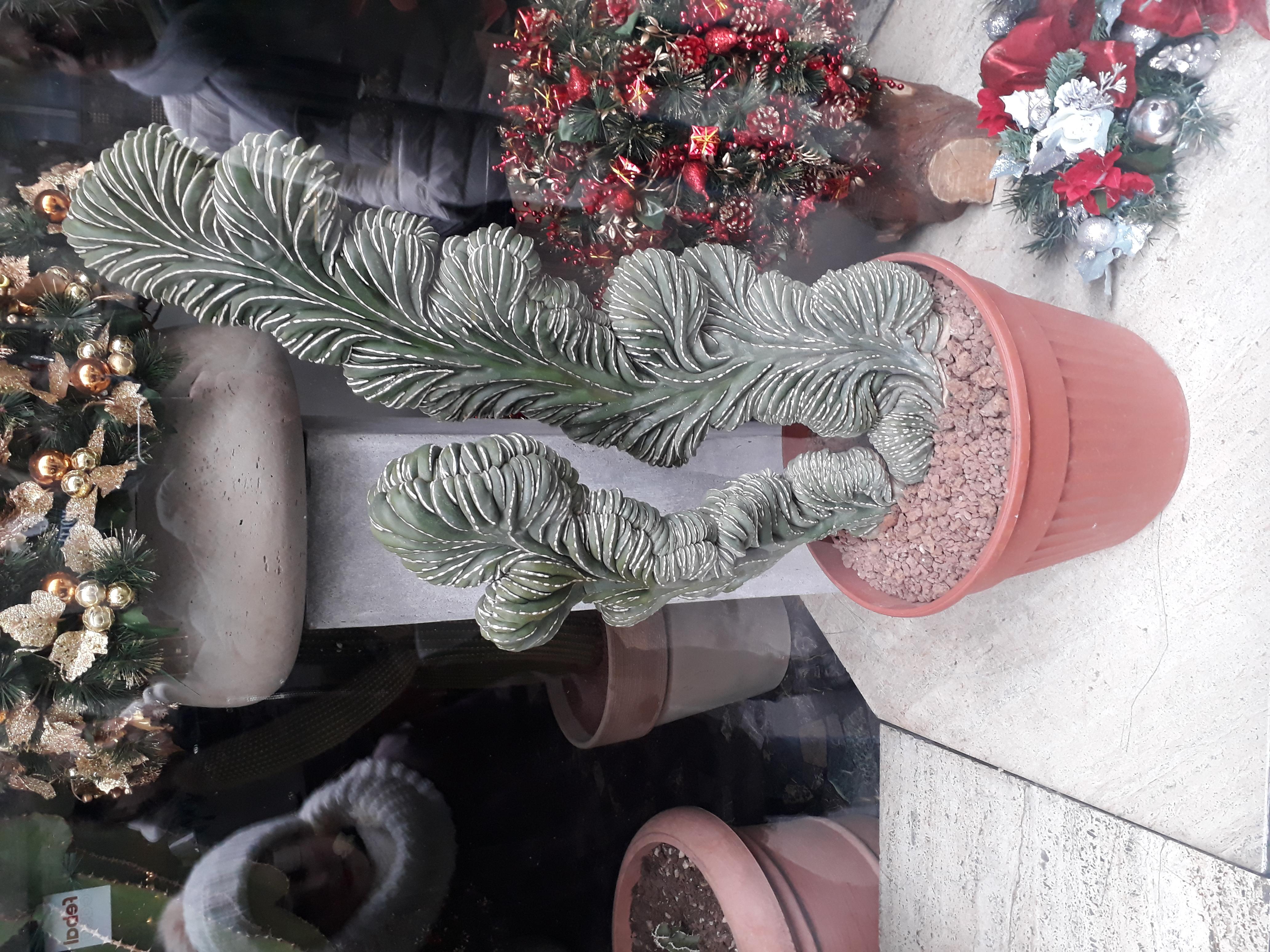 kakteen bestimmen pachycereus marginatus cristata pflanzenbestimmung pflanzensuche. Black Bedroom Furniture Sets. Home Design Ideas
