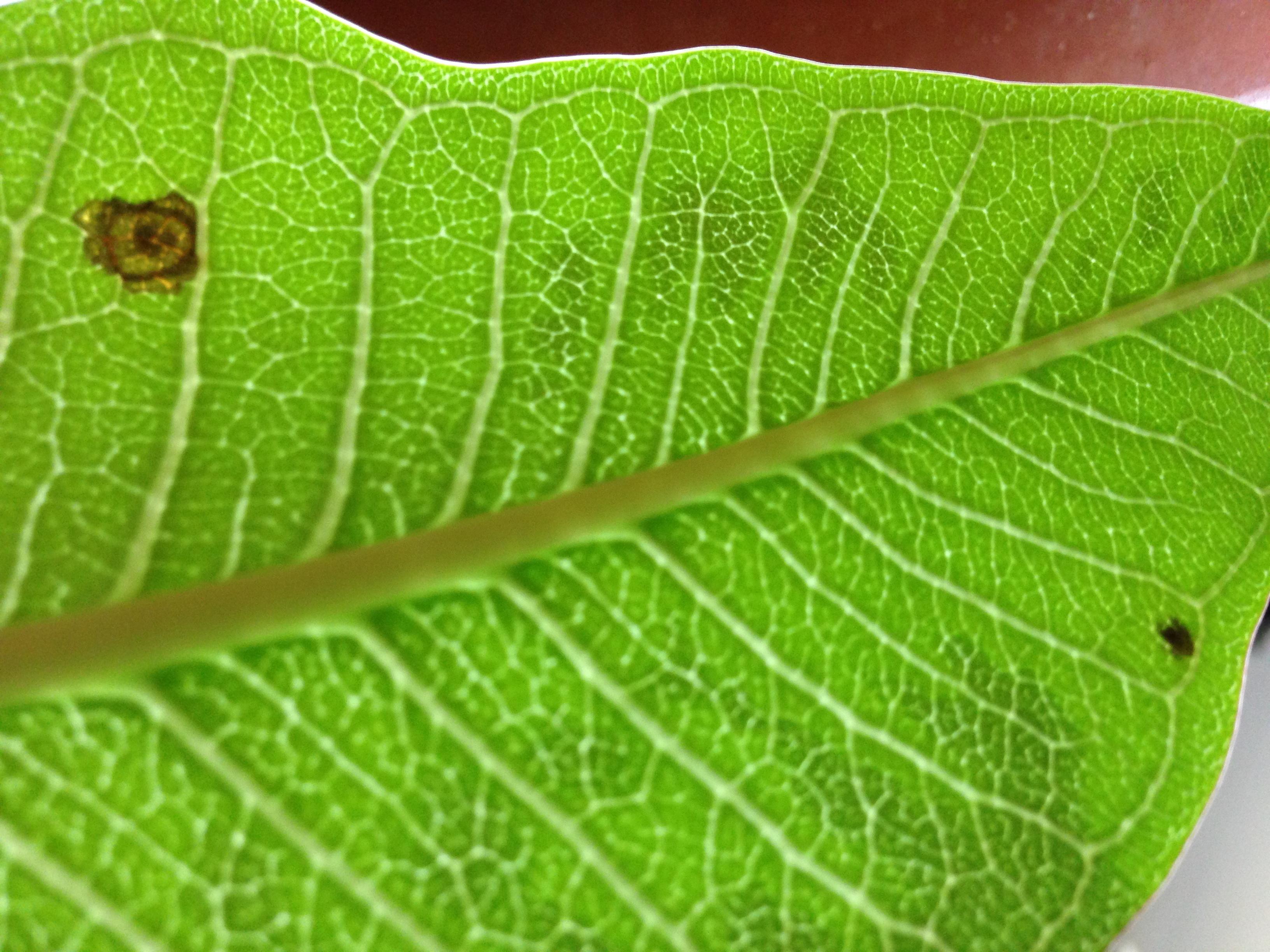 plumeria bekommt braune punkte und bl tter verf rben sich pflanzenkrankheiten sch dlinge. Black Bedroom Furniture Sets. Home Design Ideas