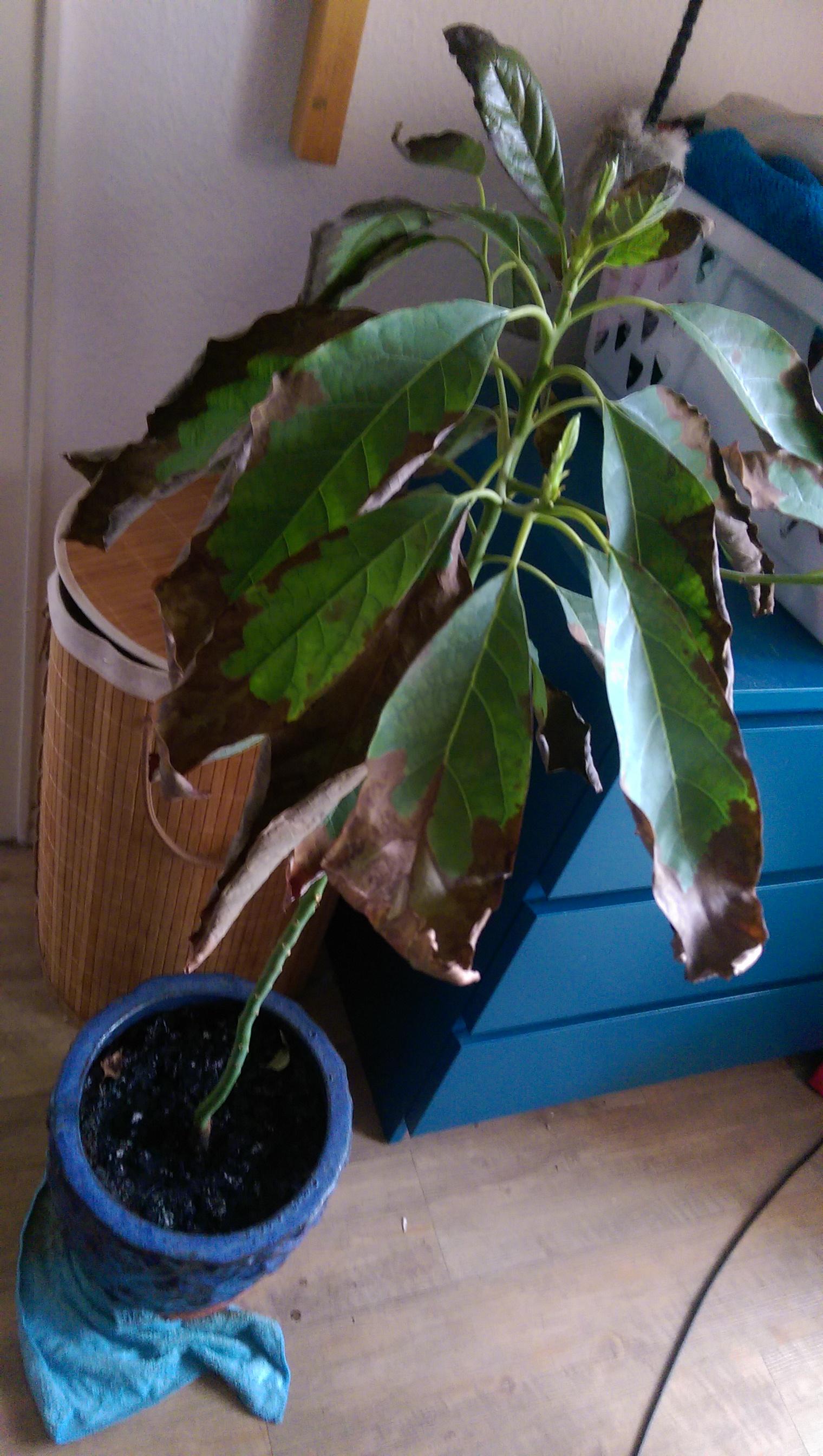 avocado hat starke blattnekrosen pflanzenkrankheiten. Black Bedroom Furniture Sets. Home Design Ideas