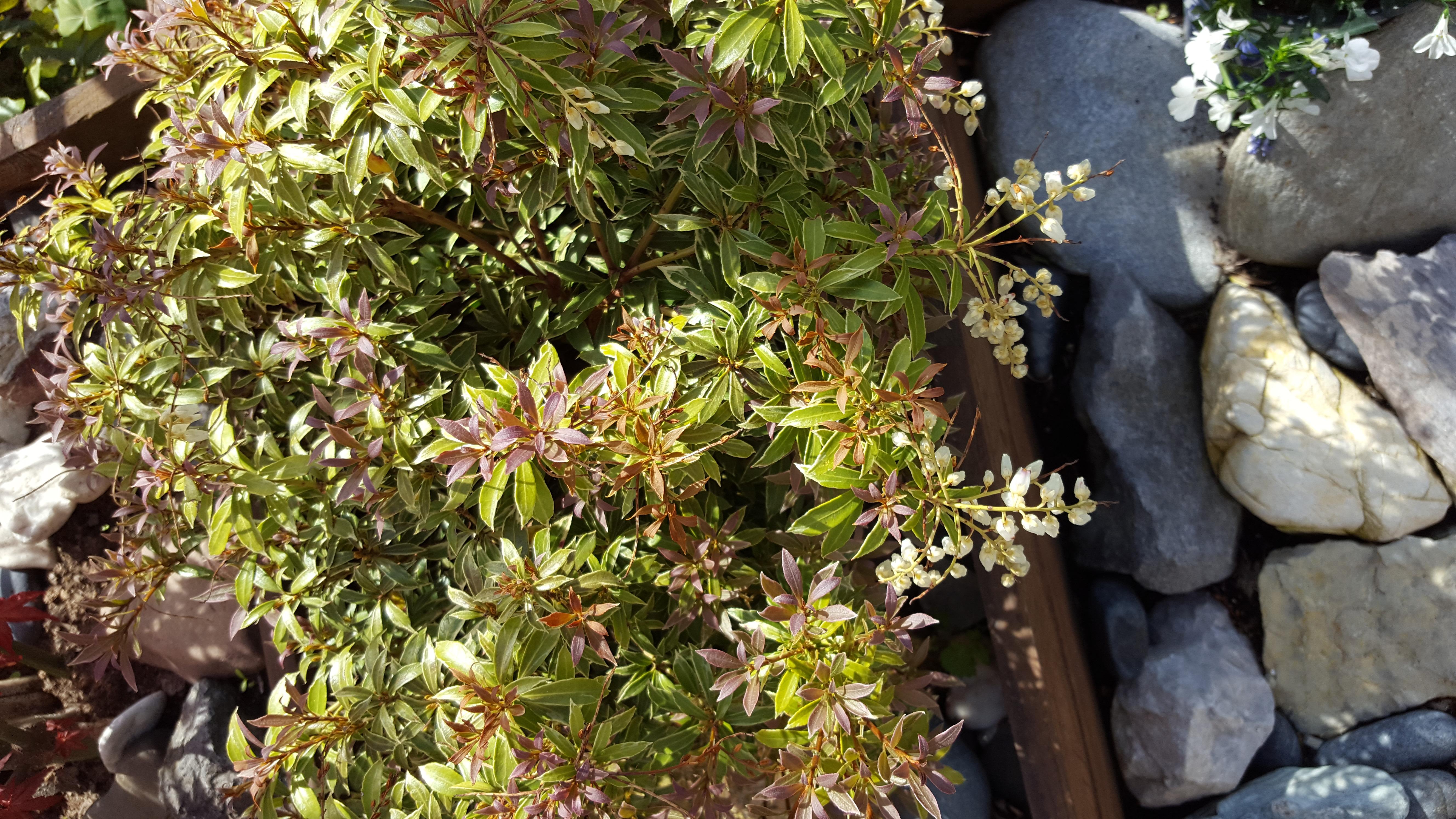 wie heisst diese pflanze lavendelheide pflanzenbestimmung pflanzensuche green24 hilfe. Black Bedroom Furniture Sets. Home Design Ideas