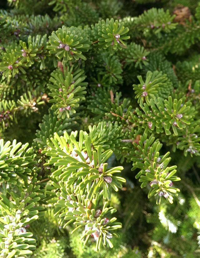 tannen abies beliebte pflanzen erfahrungen green24 hilfe pflege bilder. Black Bedroom Furniture Sets. Home Design Ideas