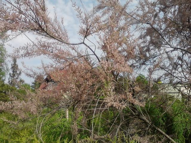 Name Von Pflanze Gesucht Tamariske Pflanzenbestimmung