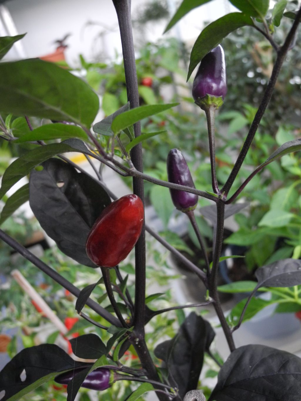 capsicum paprika chili co mit bildern pflanzenlexikon steckbriefe green24 hilfe. Black Bedroom Furniture Sets. Home Design Ideas