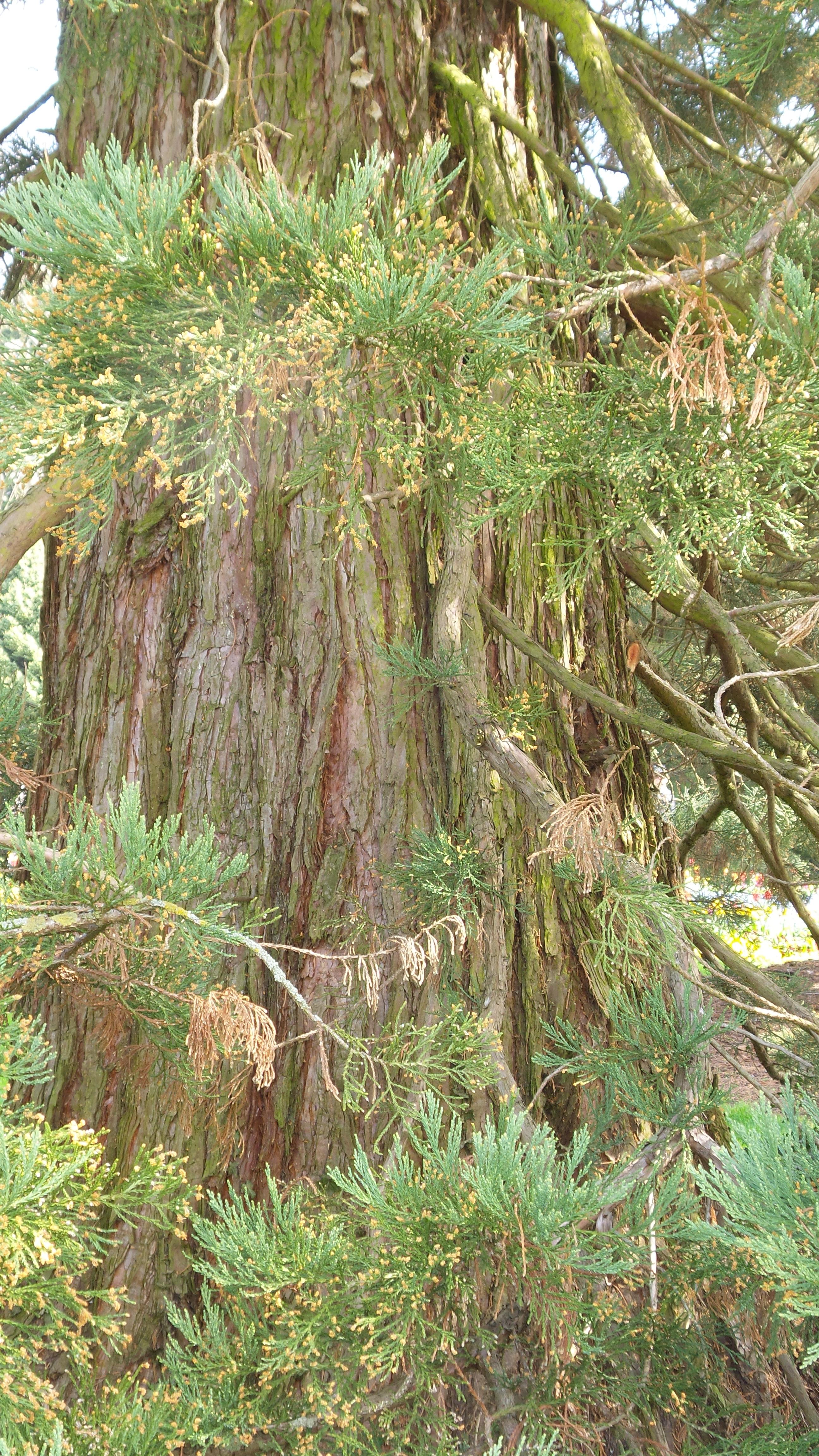 Sequoiadendron Giganteum Bergmammutbaum