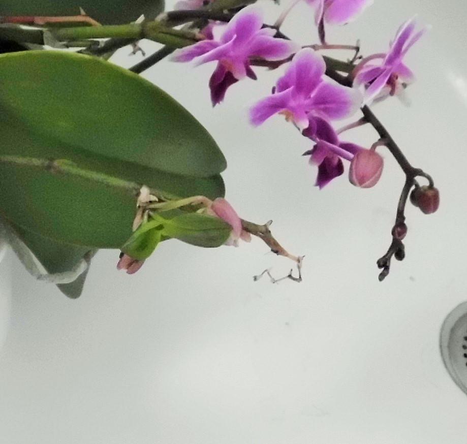 orchideen alles ohne ludisia freiland vii beliebte. Black Bedroom Furniture Sets. Home Design Ideas