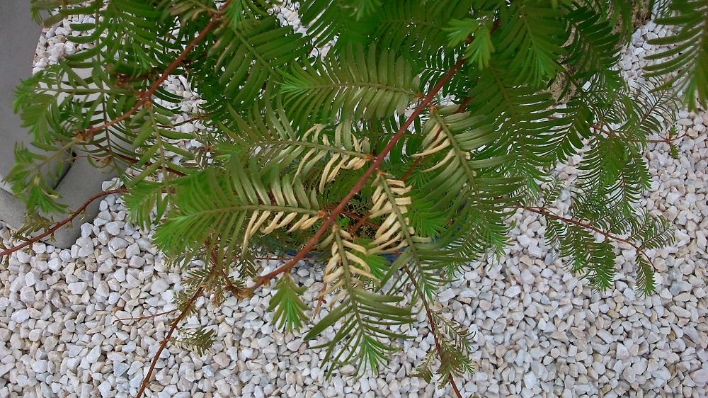 hilfe bonsai seidenakazie bekommt braune bl tter pflanzenkrankheiten sch dlinge green24. Black Bedroom Furniture Sets. Home Design Ideas