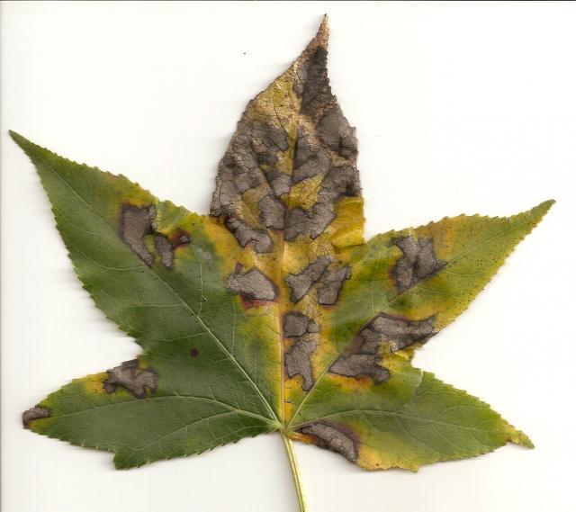 blattsch den am amberbaum pflanzenkrankheiten sch dlinge green24 hilfe pflege bilder. Black Bedroom Furniture Sets. Home Design Ideas