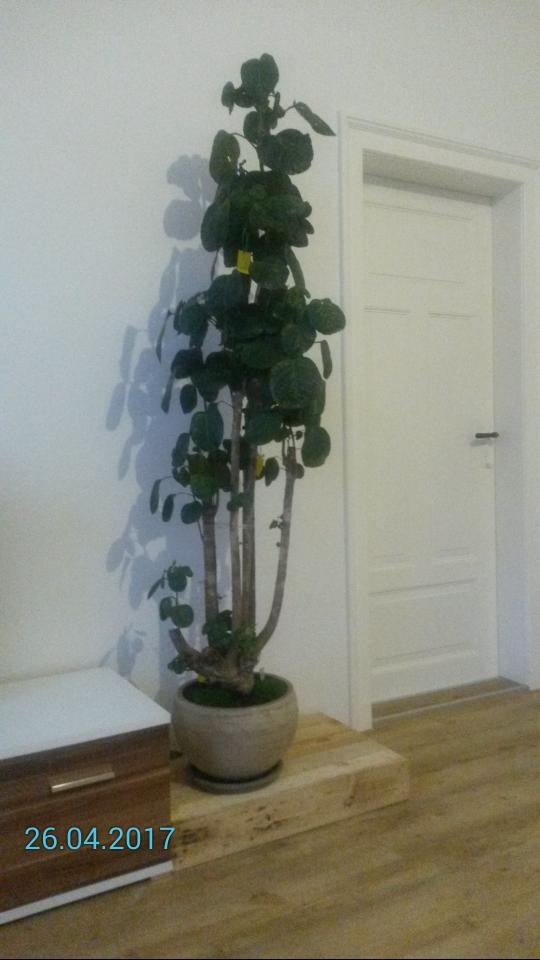 fiederaralie polyscias l sst bl tter h ngen pflanzenkrankheiten sch dlinge green24. Black Bedroom Furniture Sets. Home Design Ideas