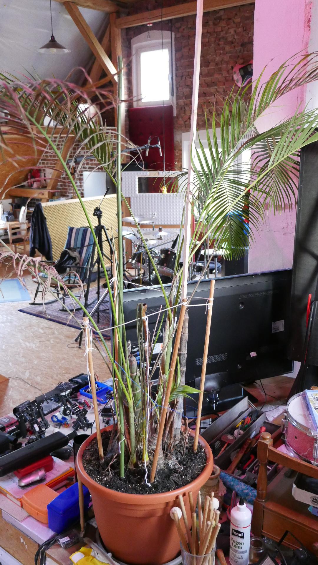 goldfruchtpalme geht mir ein pflanzenkrankheiten sch dlinge green24 hilfe pflege bilder. Black Bedroom Furniture Sets. Home Design Ideas
