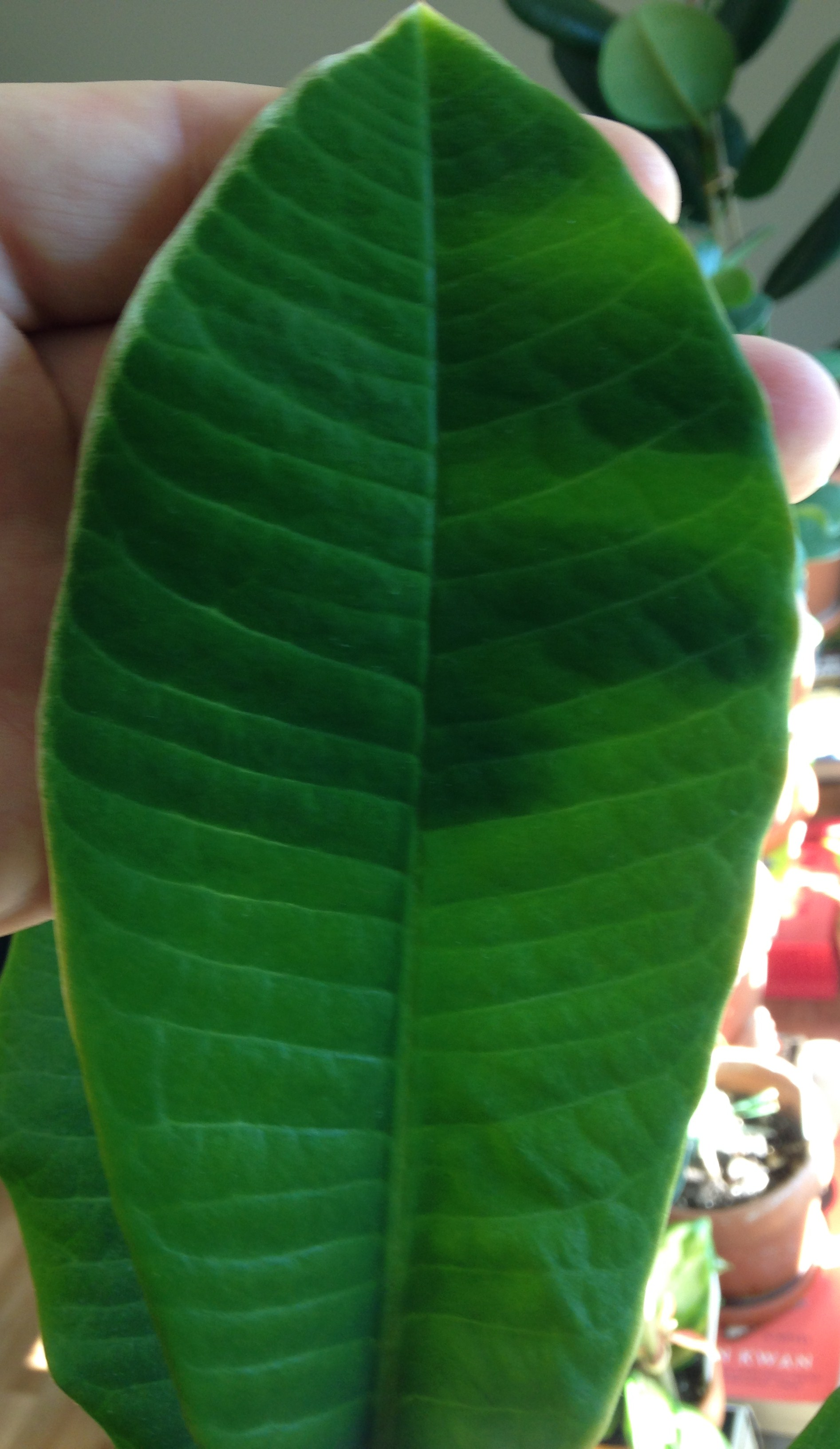 weisse blattr nder an euphorbia leuconeura pflanzenkrankheiten sch dlinge green24 hilfe. Black Bedroom Furniture Sets. Home Design Ideas