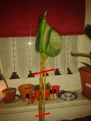 ficus elastica gummibaum fallen bl tter ab und sind weich pflanzenkrankheiten sch dlinge. Black Bedroom Furniture Sets. Home Design Ideas