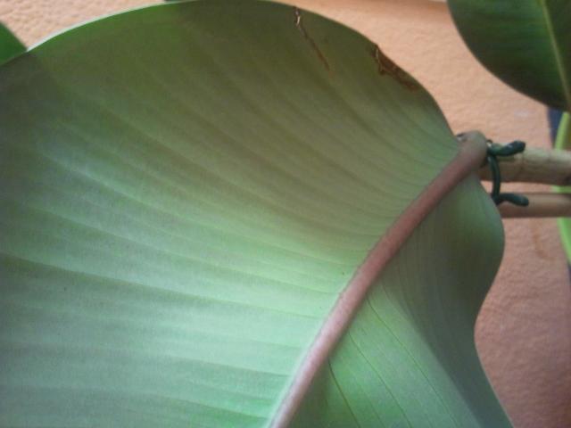 Ficus Robusta lässt die Blätter rollen und fallen ab Pflanzenkrankheiten& Schädlinge  ~ 01120309_Blätter Von Sukkulenten Fallen Ab