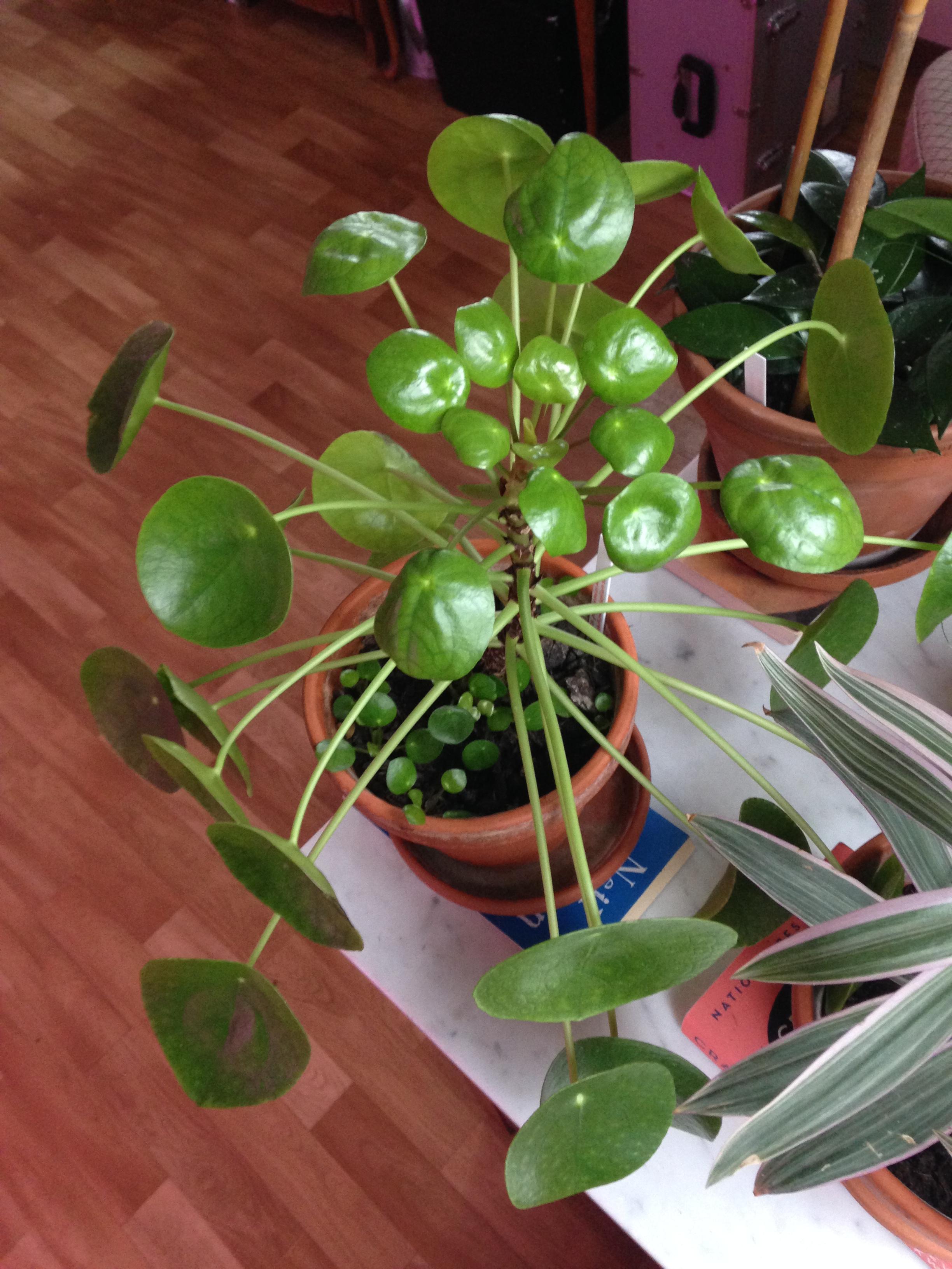 braune blattr nder an pilea peperomioides pflanzenkrankheiten sch dlinge green24 hilfe. Black Bedroom Furniture Sets. Home Design Ideas