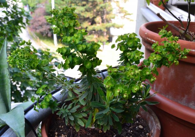 Super Euphorbia x martinii schneiden - Pflegen & Schneiden & Veredeln #MZ_42